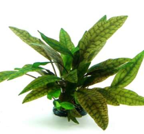 Shop Cryptocoryne x purpurea In-Vitro Dennerle