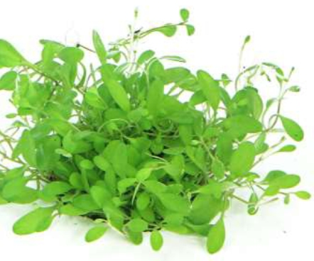 Shop Glossostigma elatinoides In-Vitro Dennerle