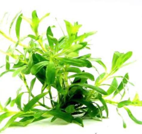 Preise Heteranthera zosterifolia In-Vitro Dennerle