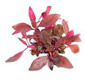 alternanthera reineckii lila in vitro dennerle leuchtend rot. Black Bedroom Furniture Sets. Home Design Ideas