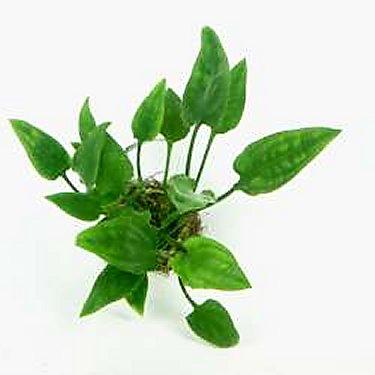 Preise Cryptocoryne pontederifolia In-Vitro Dennerle