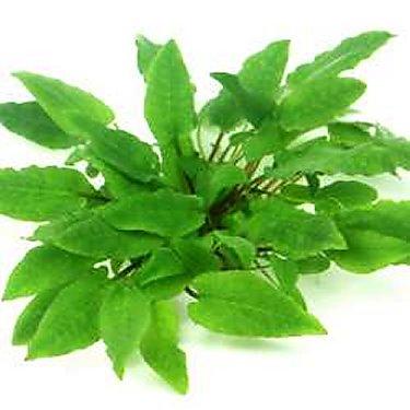 Preise Cryptocoryne wendtii Broad Leaf In-Vitro Dennerle
