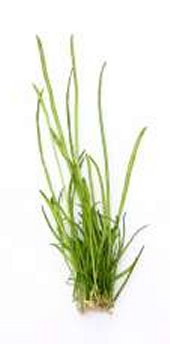 Preise Lileaopsis macloviana In-Vitro Dennerle