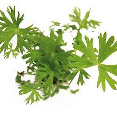 Preise Ranunculus inundatus In-Vitro Dennerle