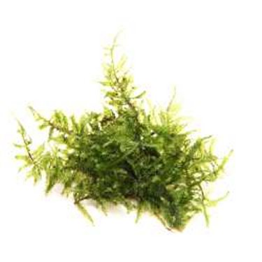 Preise Vesicularia montagnei In-Vitro Dennerle